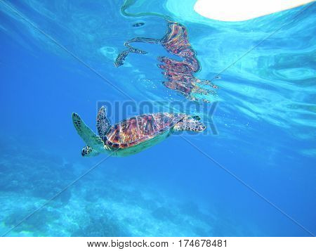 Sea turtle in water. Wild turtle swimming underwater in blue tropical sea. Undersea photo with tortoise. Sea turtle in wild nature. Snorkeling in tropic lagoon. Exotic island seashore with animal
