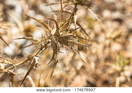 Dry wither desert golden plant full of thorn and spike as aggressive dangerous and intrusive botanical vegetation background