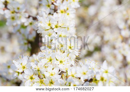 White flower spring cherry blossom bouquet as beautiful season background on a fresh sunny day