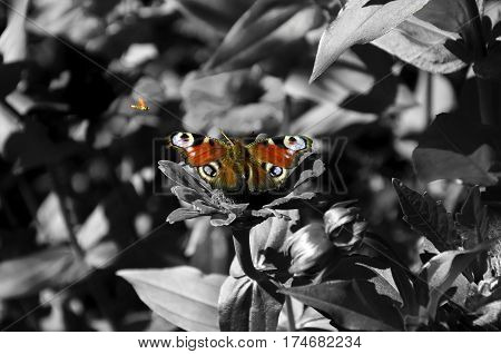 black and white photo of flowers and leaves and bright beautiful butterfly on a flower and a small midge