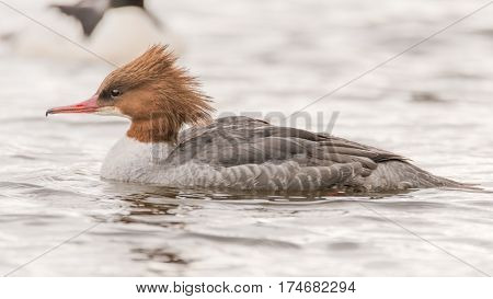 Goosander (Mergus merganser) female swimming. Sawbill duck in the family Anatidae with crest and serated bill visible in profile