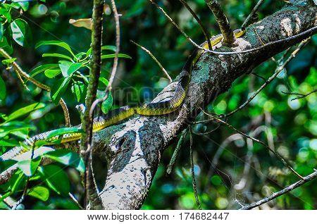Snake On The Tree In Daintree Rainforest, Australia