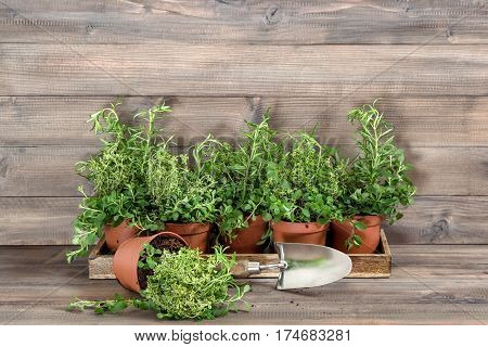 Kitchen herbs rosemary thyme oregano in pot on wooden background