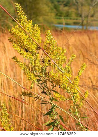 Goldenrod flower in a prairie at Kettle Moraine State Forest in Wisconsin