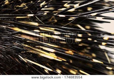 the needles of a porcupine close up
