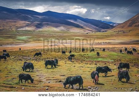 Large Yak herd grazing in the wide valley in Himalaya