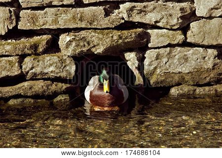 A mallard looking straight ahead from cover in the large rocks.
