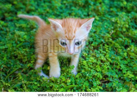 Small red kitten in green grass. Outdoor life of domestic cat. Feline baby portrait with curious sight. Naughty kitten hunting. Lovely orange kitty. Domestic pet exploring outdoor. Lovely animal