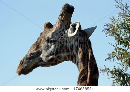 Masai giraffe looks over its shoulder in the Mara in Kenya
