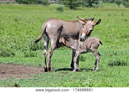 donkey colt feeding on a Masai farm in Tanzania