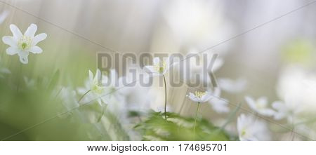 Dreamy wood anemone wild flowers panorama. Soft focus image a white spring flower Anemone nemorosa.