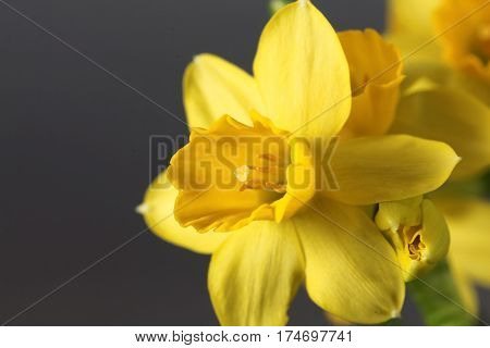 Flower of the Narcissus cyclamineus sort Tete a Tete.