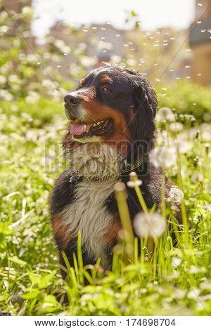bernese mountain dog sitting in blowing dandelions