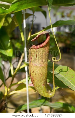 Nepenthes or monkey cups Tropical pitcher plants