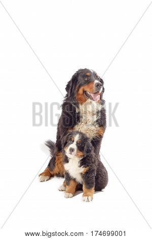 bernese mountain dog with his puppy posing isolated on white