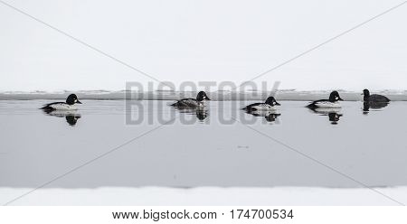 A panorama of Common goldeneye waterfowl swimming in a thawed part of Hauser Lake in Idaho.
