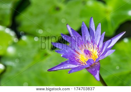 Purple Lotus With Green Leaf Top View