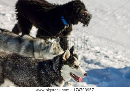 Young Husky And Black Russian Terrier Play Running In Snow
