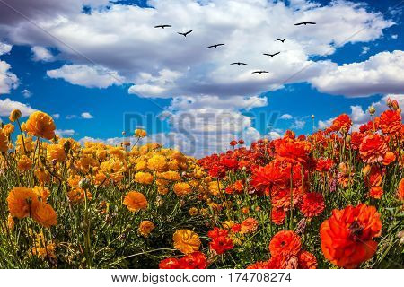Concept of rural tourism. The southern sun illuminates the flower fields of red and yellow buttercups. Migratory birds flying high in the cumulus clouds