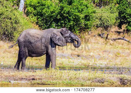 Fascinating journey to Africa. Watering large animals in the Okavango Delta. Elephants. Chobe National Park in Botswana