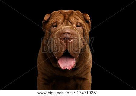 Portrait of Sharpei Dog with wrinkles Looking in camera on Isolated Black Background, Front view