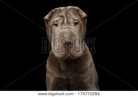 Portrait of Sad Gray Sharpei Dog Looking in camera on Isolated Black Background, Front view