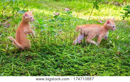 Small kittens playing in sunny garden. First time outdoor cats. Orange kitties outside hunting in grass. Playful baby pet. Red short-tail kitten with long-tail brother. Asian bobcat kitties exploring