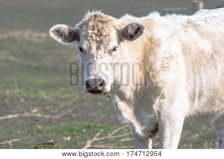 White crossbred heifer with a rough hair coat on early spring pasture