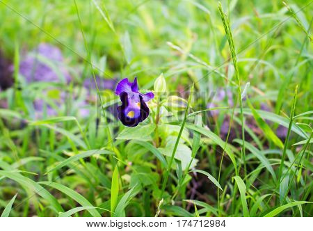 Purple pansy flower in green grass. Optimistic summer meadow landscape. Blooming flower in summer garden. Small daisy with purple and yellow petals. Modest flower in flowerbed. Bright spring nature