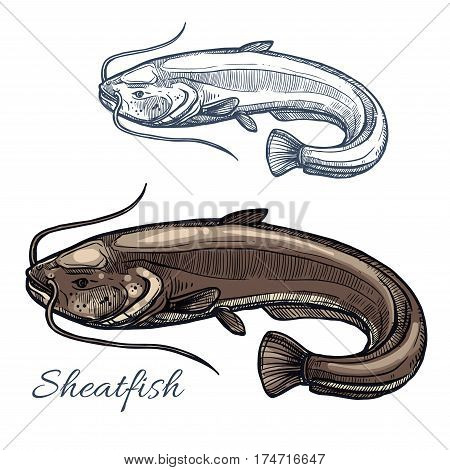 Sheatfish isolated sketch. Gray catfish, freshwater predatory fish with barbels and curved tail. Fishing sport, fish market, seafood menu and underwater wildlife themes design