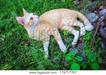 Red cat on green grass. Lovely ginger cat outside in summer garden. Cute orange cat lying in grass. Spring lawn with happy domestic animal. Adult cat with yellow eyes. Walking pet outdoor. Relaxed pet