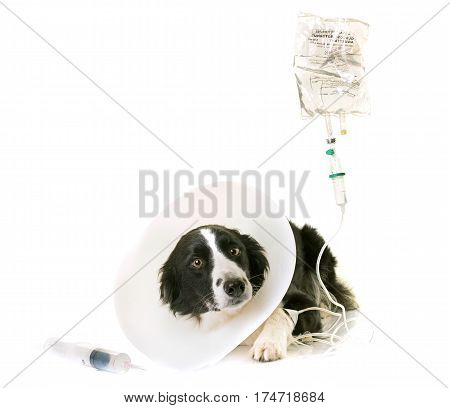 sick border collie in front of white background