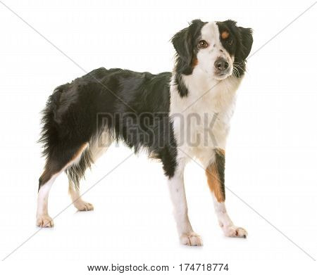 miniature american shepherd in front of white background
