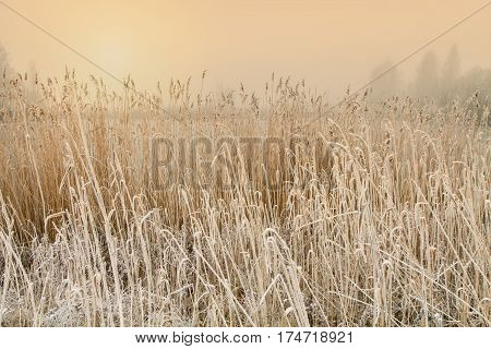 Reeds that grow in the lake during the winter