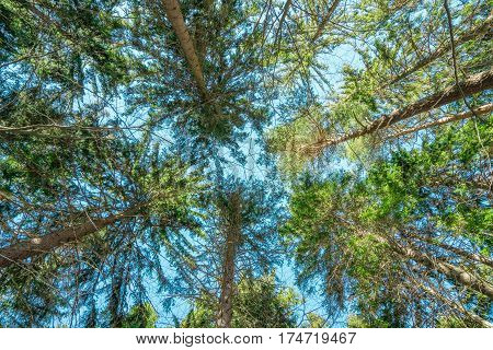Treetops in a forest in Poland in winter