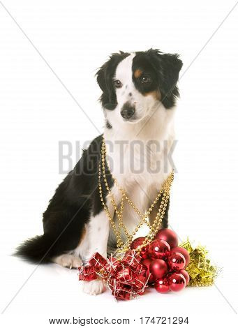 miniature american shepherd and christmas ornaments in front of white background