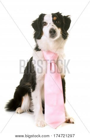 miniature american shepherd wearing a pink tie in front of white background