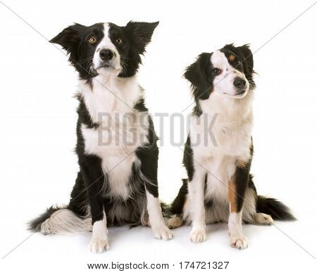 miniature american shepherd and border collie in front of white background