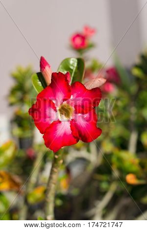 Pink tropical exotic flowers in the park Curacao Caribbean region