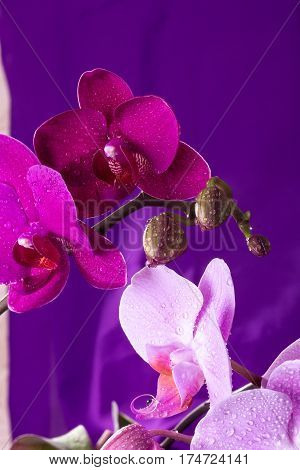 Pink And Purple Orchid Macro With Water Drops. Phalaenopsis Branch On Purple Background. Close Up. S