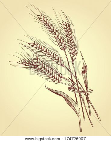 Hand drawn ears of wheat with grains, bakery sketch vector illustration. Wheat sheaf harvest