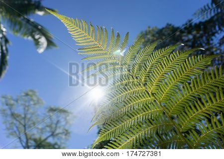 Fern frond ponga backlit by sun with lens flare and bokeh background against blue sky closeup Kerikeri New Zealand.