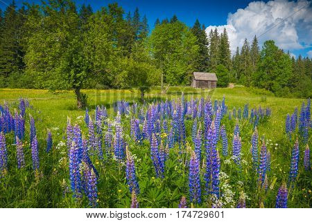 Carpathian valley covered with beautiful blue summer flowers in a light of sunrise