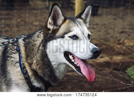 Close up of Siberian husky dog with blue eyes looking ahead