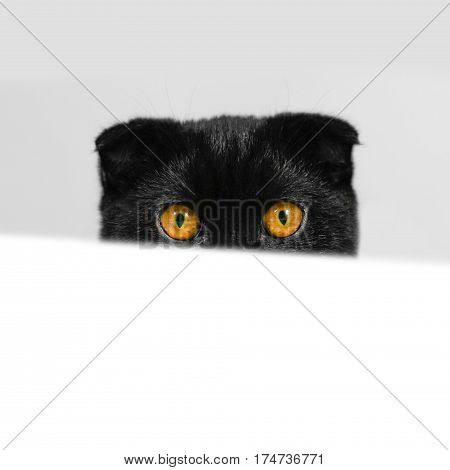 Black Scottish fold cat with yellow eyes peeping from behind of the white table. Cat peeking curiously around the white table. Close-up serious black Cat. Face black cat with Golden eyes.