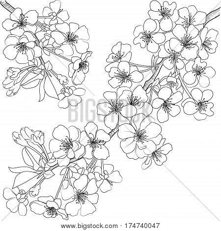 Sketch of flowering branch of cherry tree