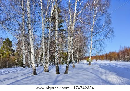 Sunny early spring day in the birches and pines forest. Bright blue sky and shadows on a snow swollen buds of white birch trees painted in a reddish tint.