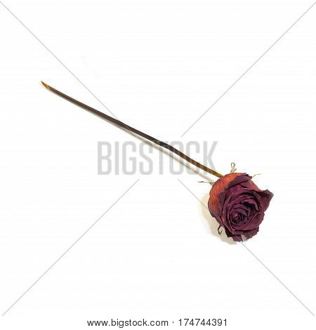 One Flower Dried Dead Flowers Red Rose. Wilted Roses. Isolated On White Background.