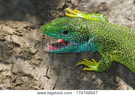 Portrait of European green lizard (Lacerta viridis).