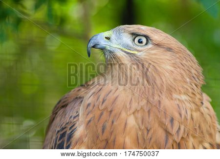 Portrait of Long-legged Buzzard (Buteo rufinus) in Yalta zoo.